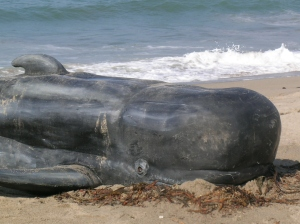 beached-whale-15