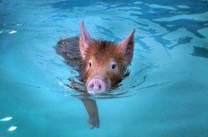 pig_swimming